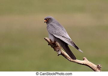 Red-footed falcon, Falco vespertinus, single male on branch,...