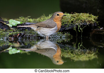 Robin, Erithacus rubecula, single bird in water, Hungary,...