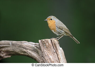 Robin, Erithacus rubecula, single bird on perch, Hungary,...