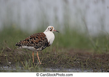 Ruff, Philomachus pugnax, single male in water, Hungary, May...