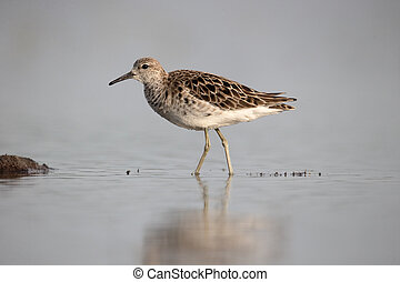 Ruff, Philomachus pugnax, single female or Reeve in water,...