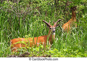 White-tailed Deer Buck - White-tailed Deer Two Bucks Feeding