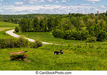 Holstein Friesians cattle breed in the pasture