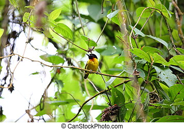 Strange weaver Ploceus alienus in Nyungwe National Park,...