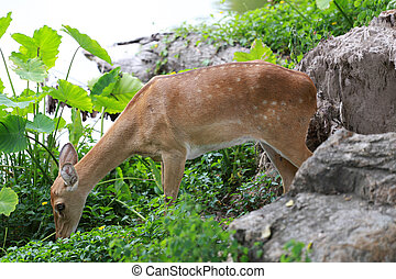 Deer or young hart animal in the forest - Deer or young hart...