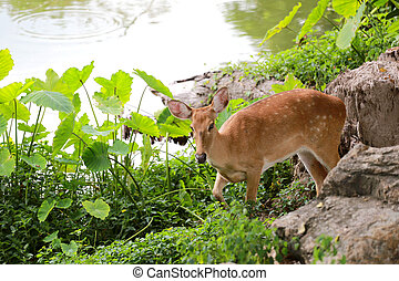Deer or young hart animal in the forest. - Deer or young...