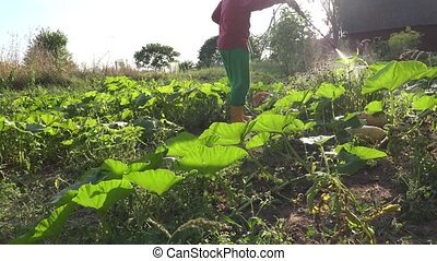 man fertilizing pumpkin and zucchini vegetables in farm with...