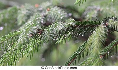 Rain falling on coniferous fir tree branch covered with water droplets. 4K