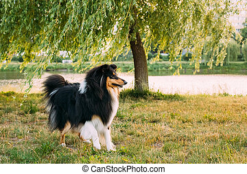 Shetland Sheepdog, Sheltie, Collie Outdoor In Summer Grass...