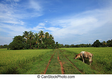 Cow in a beautiful Indian village - A cow in a beautiful...