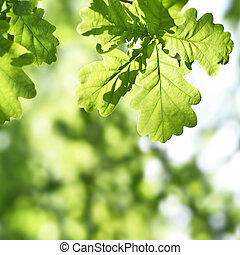fresh green leaves with copy space. Green oak leaves in the...