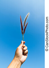 flower grass in handful on blue sky background