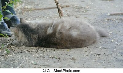 fluffy cat lying on the ground playing with a stick slow...