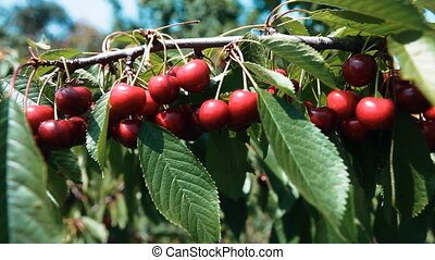 ripe cherries on a branch of a cherry tree