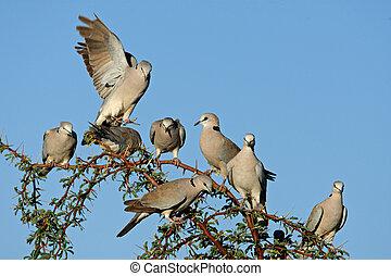 Cape turtle doves Streptopelia capicola perched on a branch,...