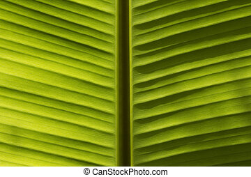 Banana leaves - image of Banana leaves background texture