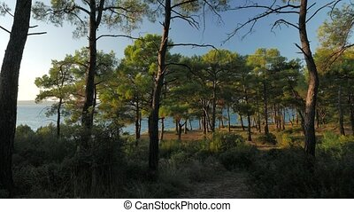 Sea view through the pine trees glowing in sunset light in a summer evening. 4k