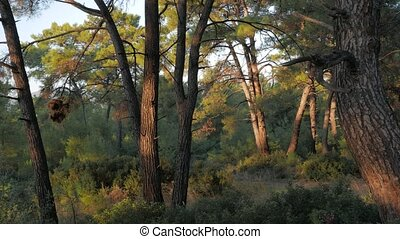Pine tree trunks glow in sunset light in a forest.