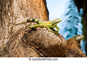 Iguanas at the Iguana park in downtown of Guayaquil, Ecuador...