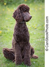 Poodle portrait - Sitting poodle in the summer scene with...