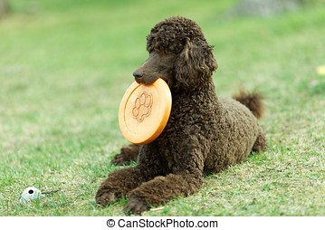 Poodle on the ground - Poodle portrait in the summer with...