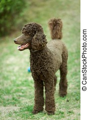 Standing Poodle - Poodle the summer garden with bright green...