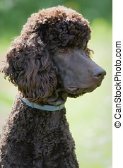 Poodle portrait in the summer with bright green background...