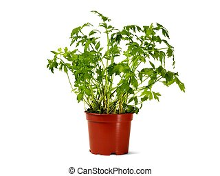 Flower pot with lovage
