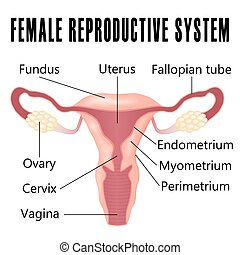 Female reproductive system - Female reproductive system, the...