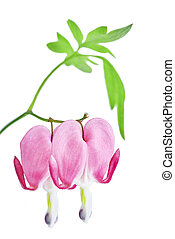 Dicentra spectabilis flowers on a white background