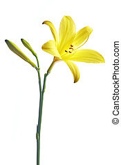 Flower yellow lily on a white background