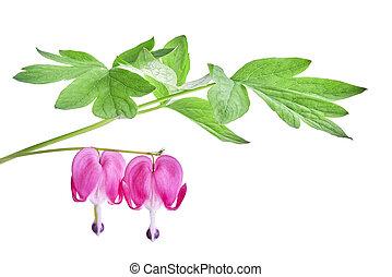 Dicentra spectabilis flower