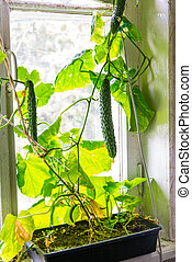 Growing cucumbers at home on window sill