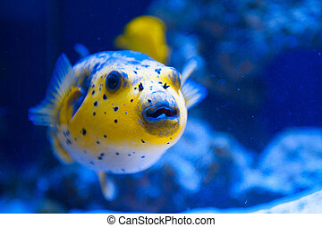 Fugue yellow fish predator of the Red Sea