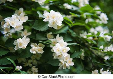 Jasmine bush in full blossom at summer park