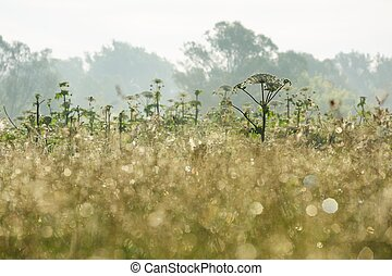Hogweed thicket at sunrise horizontal
