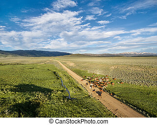 ranch road and cattle near Walden, North Park, Colorado -...