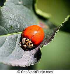 ladybird portrait on a leaf from above