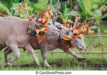 Bulls in action on traditional balinese water buffalo races...