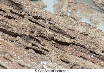 Termitas, de madera, paredes, comido, ser