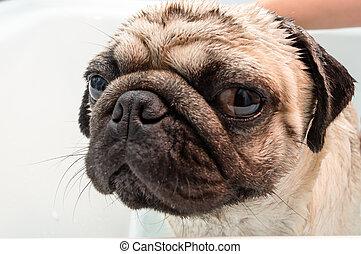 Wash Day - A pug dog getting washed in a bath tub