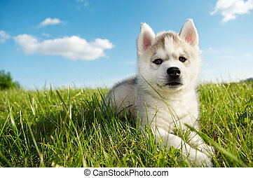 Siberian husky dog puppy - One Little cute puppy of Siberian...