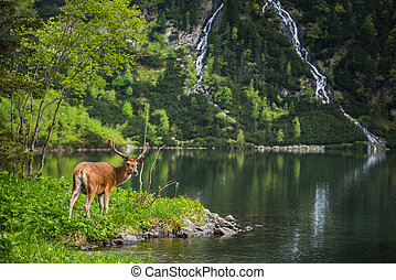 Deer stag at the lake in mountains eating grass