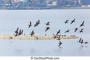 Swarm of Brant, at Delta BC Canada