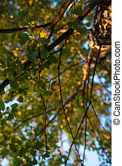 Birch branches with leafs look up. Summer scene.