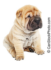young sharpei puppy dog - small purebred beige sharpei puppy...