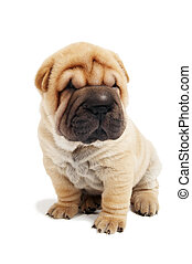 sitting sharpei puppy dog - small sharpei puppy in sitting...