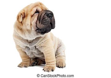 sitting sharpey puppy dog - small purebred beige sharpei...