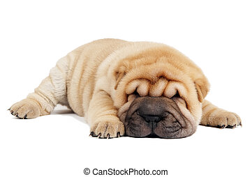 sharpei puppy - Small purebred Chinese sharpei puppy...