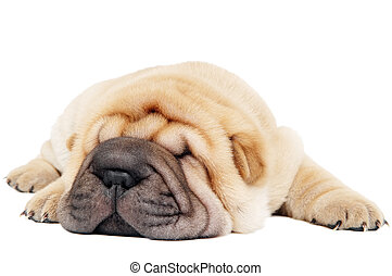 closeup young lying sharpei dog - small purebred lying beige...